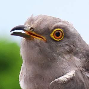 170434 the Cuckoo