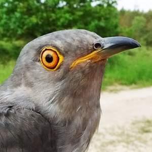 Nicholas the Cuckoo