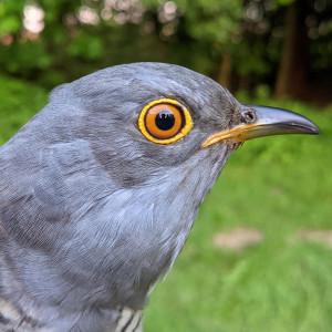Grove the Cuckoo
