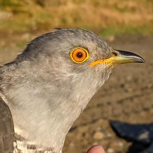 Victor II the Cuckoo