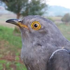 Cameron the Cuckoo