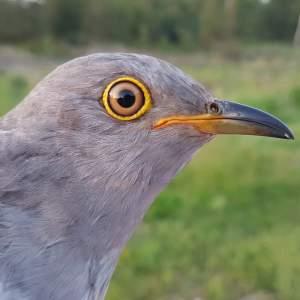 Sherwood the Cuckoo