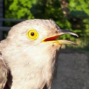 Knepp the Cuckoo