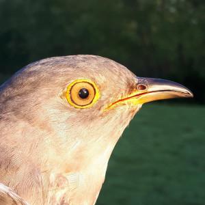 Lambert the Cuckoo