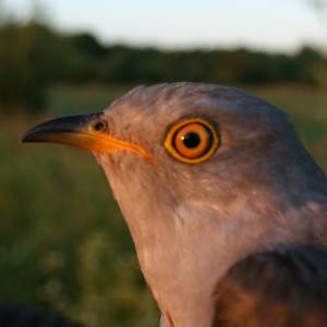 Clement the Cuckoo