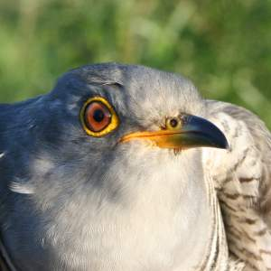 Martin the Cuckoo