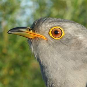 Lyster the Cuckoo