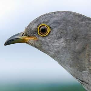 Idemili the Cuckoo