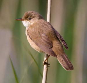Look Out For Reed Warbler Bto British Trust For Ornithology