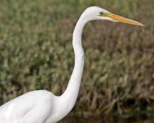 Great White Egret by Jeff and Allison Kew/BTO