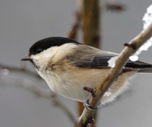 Willow Tit by Graham Catley/BTO