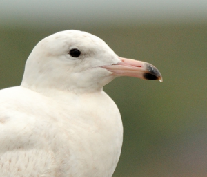 Glaucous Gull by Amy Lewis