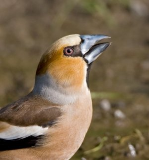 Hawfinch by Chris Knights