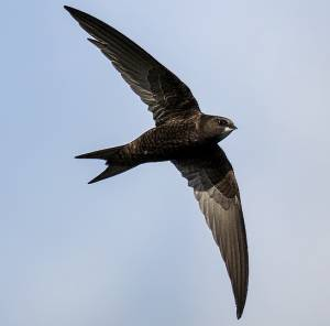 Swift by Distinctly Average/Flickr