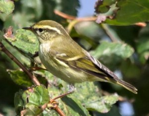 Yellow-browed Warbler by Jon Lowes