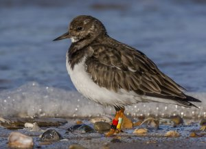 Turnstone with colour rings by Ruth Walker
