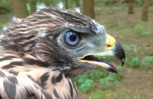 40-day old juvenile Goshawk