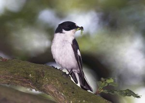 Pied Flycatcher with caterpillar in its beak by John Harding