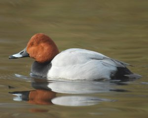 Pochard by Neil Calbrade
