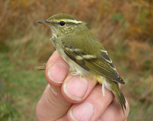 Yellow-browed Warbler by Chris Redfern