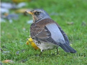 Fieldfare by Chris Mills www.norfolkbirding.com