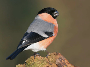 Bullfinch by Jill Pakenham