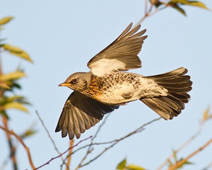 Fieldfare by John W Walton