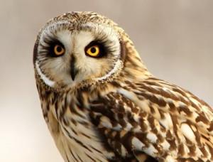 Short-eared Owl by Dean Eades