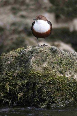 Dipper. Photograph by Jill Pakenham