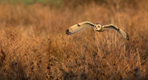 Short-eared Owl. Liz Cutting