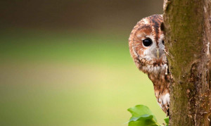 Lara Tawny-owl-howard-stockdale-006556