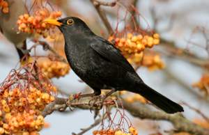 Blackbird. Photograph by John Harding