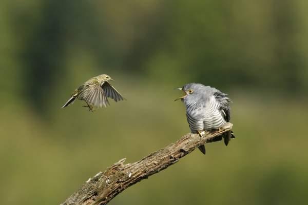 Cuckoo by Edmund Fellowes/BTO