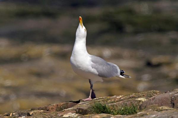 Herring Gull. John Harding.