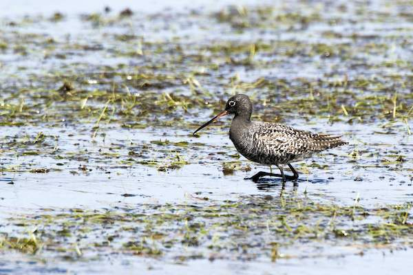 Spotted Redshank by John Harding