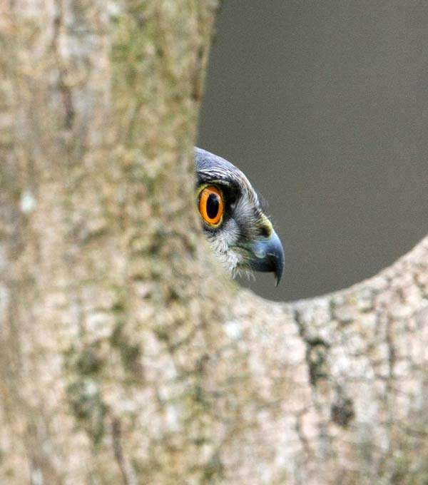 Sparrowhawk. Jill Pakenham