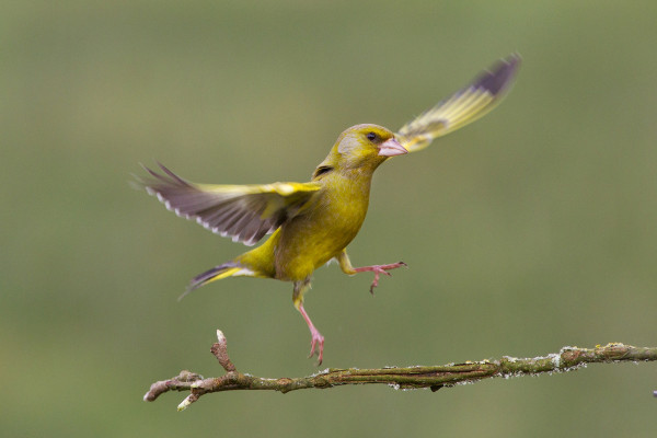Greenfinch by Edmund Fellowes