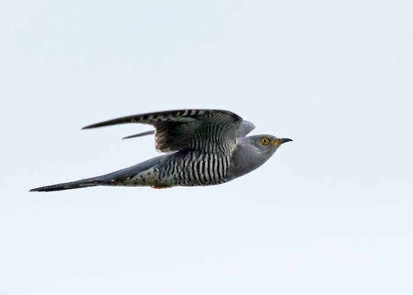 Cuckoo by Colin Brown/BTO