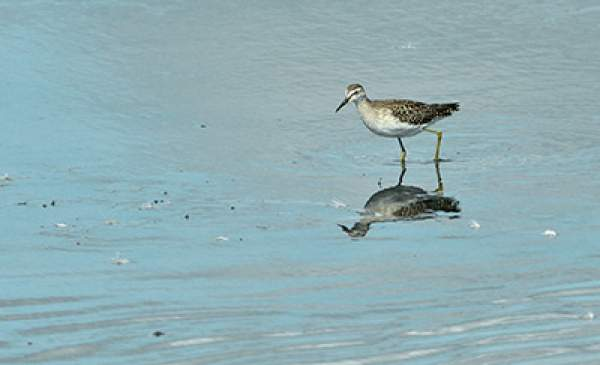 Wood Sandpiper. Photograph by Tom Wallis