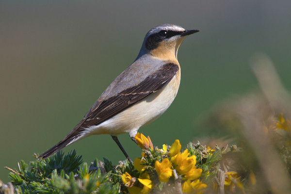 Wheatear by Vic Froome/BTO
