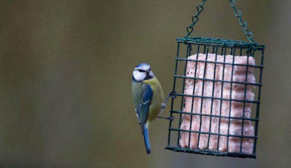 Blue Tit. Paul Newton