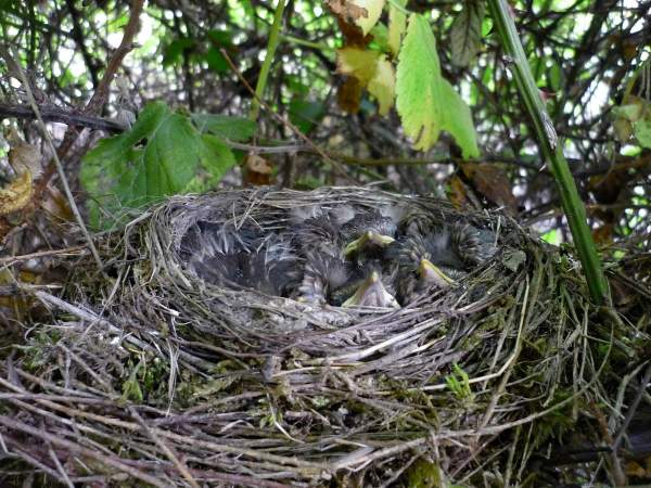 Blackbird nest. Photograph by Moss Taylor