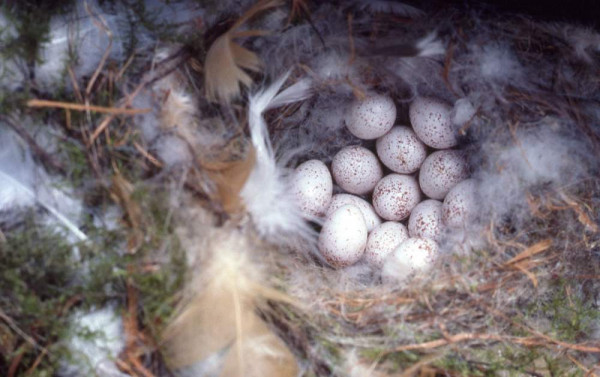 Blue Tit eggs. Moss Taylor