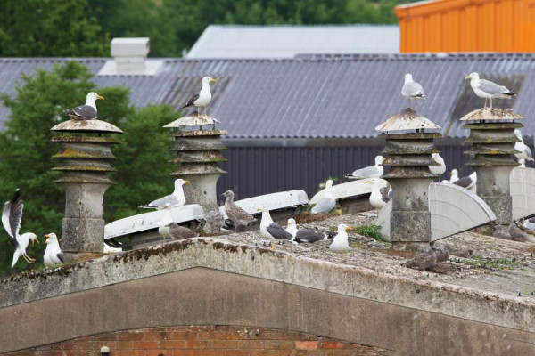 Urban-nesting gulls. Edmund Fellowes.