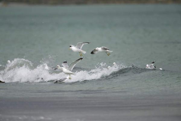 Common Gulls. Edmund Fellowes.