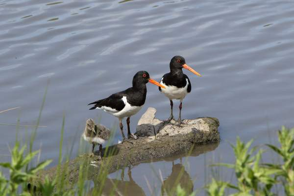 Oystercatcher. Photograph by John Proudlock