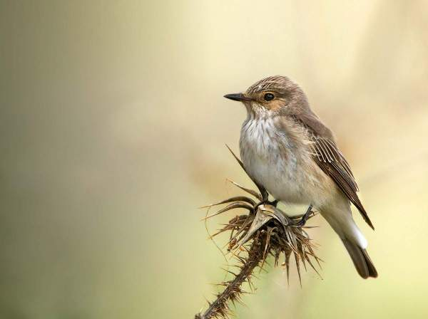 Spotted Flycatcher. Photograph by Jamie MacArthur