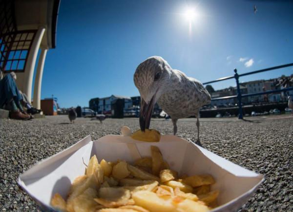 Herring Gull. Beth Arkwright.