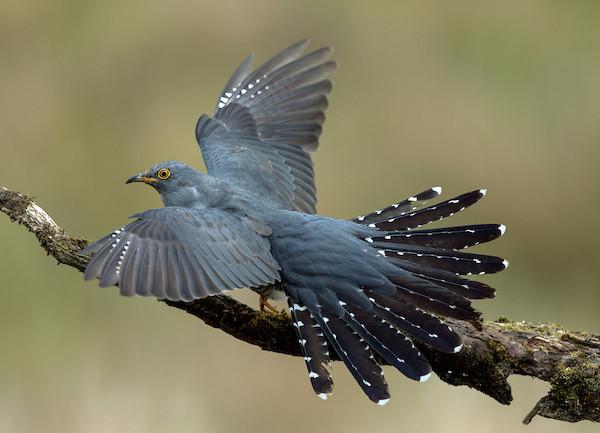 Cuckoo by Robin Lee/BTO