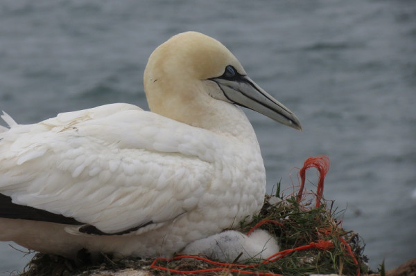 Gannet nest with rope debris. Nina O'Hanlon